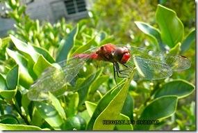libélula vermelha_por Reginaldo Okada