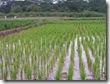 rice_03