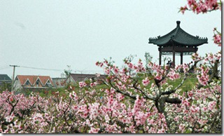 Shanghai-peach-blossoms----hero2
