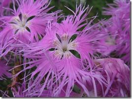 Dianthus_superbus_subsp_longicalycinus1