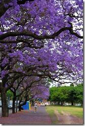 新华社照片,布宜诺斯艾利斯,2011年11月20日   布市蓝楹盛开 街道变身花海   11月19日,在阿根廷布宜诺斯艾利斯,居民在花树下休闲健身。     每年11月,阿根廷首都布宜诺斯艾利斯迎来蓝楹盛开的季节,美丽的紫色花朵令城市街道变身花海。     新华社记者宋洁云摄