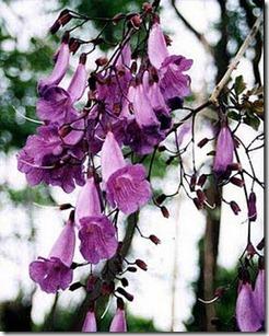Jacaranda-puberula-flor
