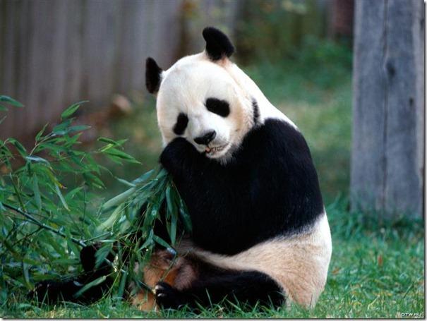 panda-7483