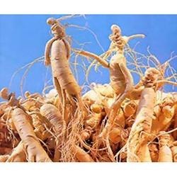 Cultivo-de-Ginseng-Uma-Erva-Medicinal-Na-Sua-Casa-19