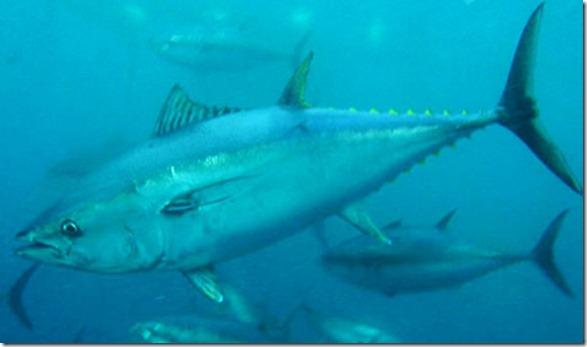 bluefintuna