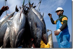030410-Bluefin-tuna-ban_full_600